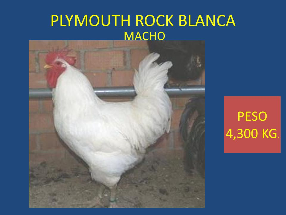 PLYMOUTH ROCK BLANCA MACHO PESO 4,300 KG.