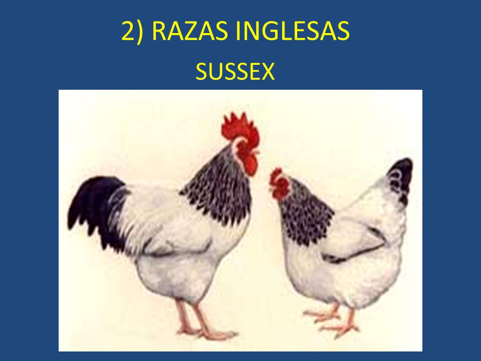 2) RAZAS INGLESAS SUSSEX