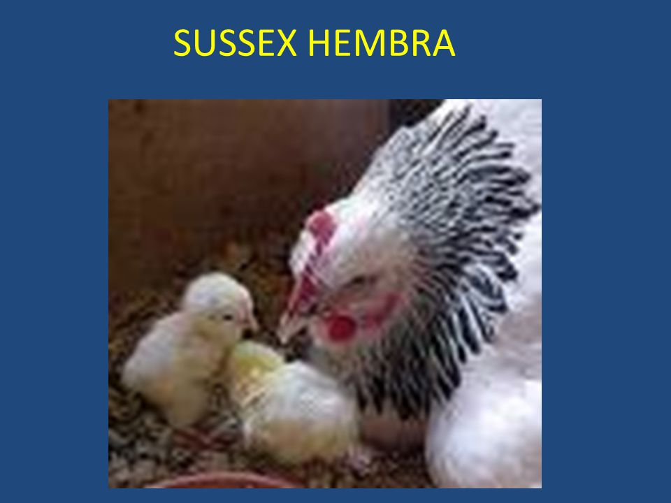 SUSSEX HEMBRA