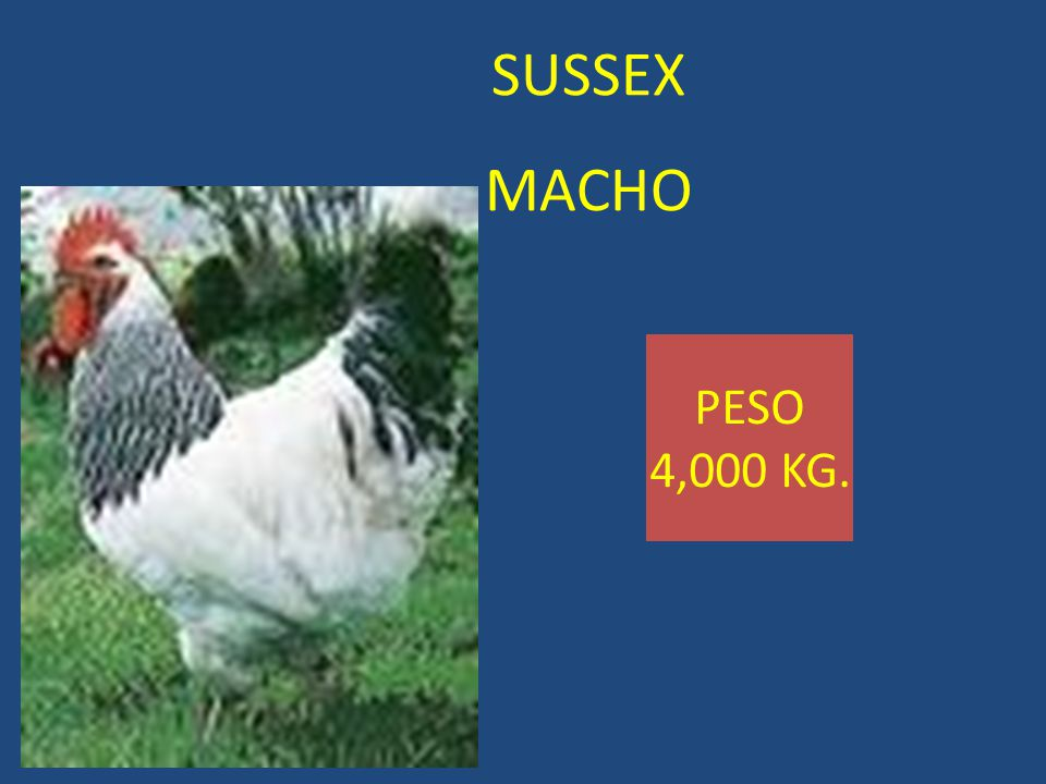 SUSSEX MACHO PESO 4,000 KG.