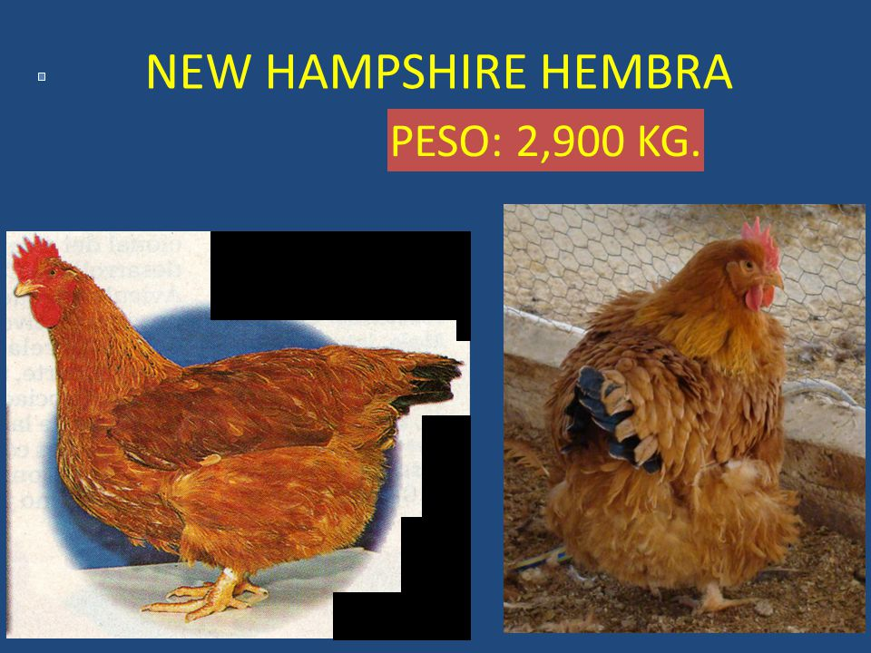 NEW HAMPSHIRE HEMBRA PESO: 2,900 KG.