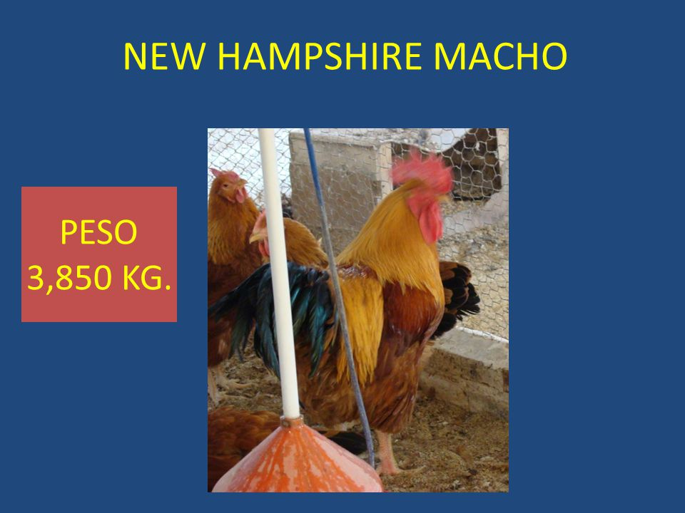 NEW HAMPSHIRE MACHO PESO 3,850 KG.