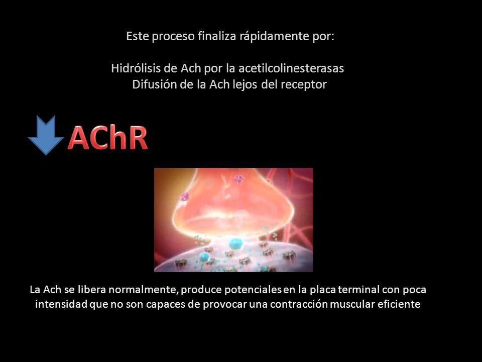 AChR Este proceso finaliza rápidamente por: