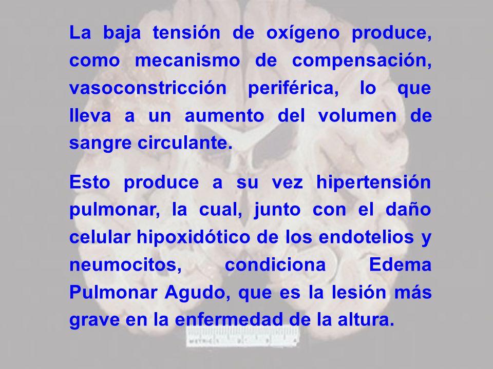 La baja tensión de oxígeno produce, como mecanismo de compensación, vasoconstricción periférica, lo que lleva a un aumento del volumen de sangre circulante.