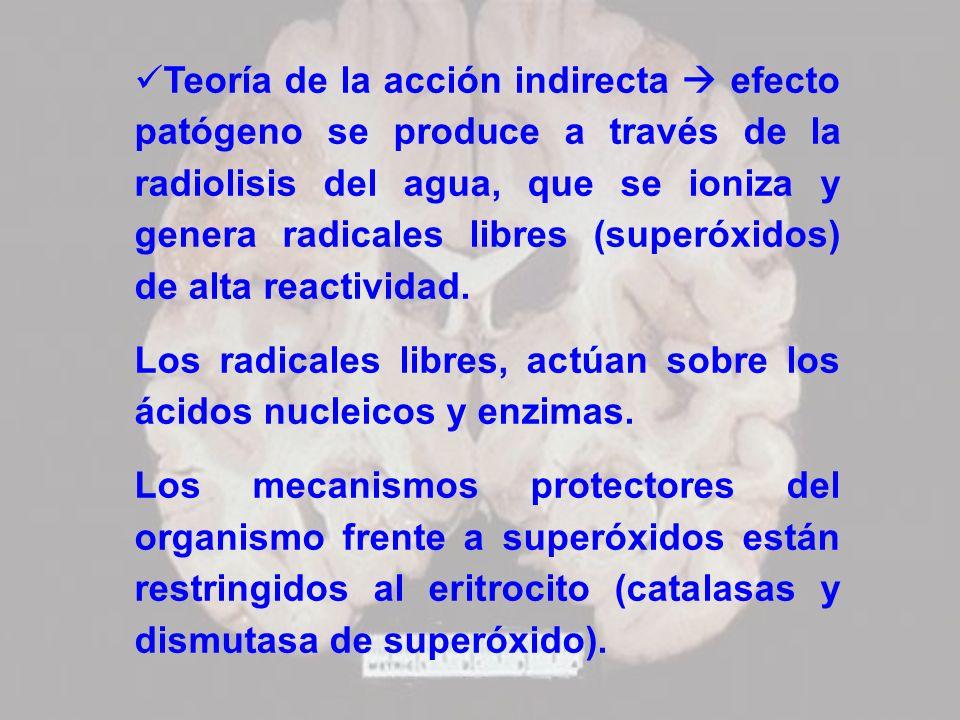 Teoría de la acción indirecta  efecto patógeno se produce a través de la radiolisis del agua, que se ioniza y genera radicales libres (superóxidos) de alta reactividad.