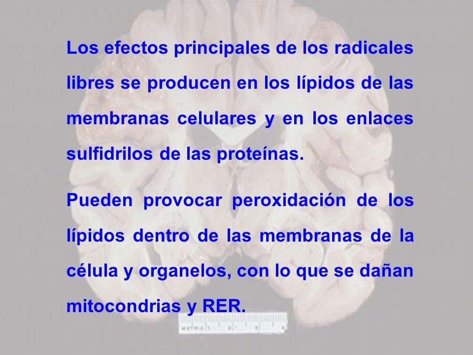 Los efectos principales de los radicales libres se producen en los lípidos de las membranas celulares y en los enlaces sulfidrilos de las proteínas.