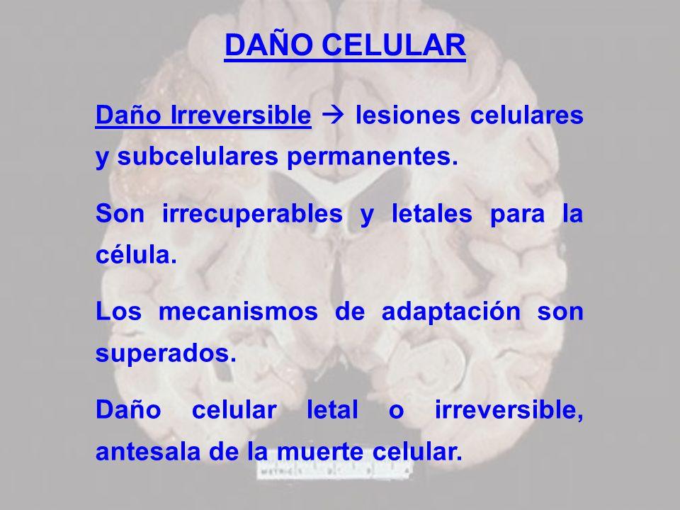 DAÑO CELULAR Daño Irreversible  lesiones celulares y subcelulares permanentes. Son irrecuperables y letales para la célula.