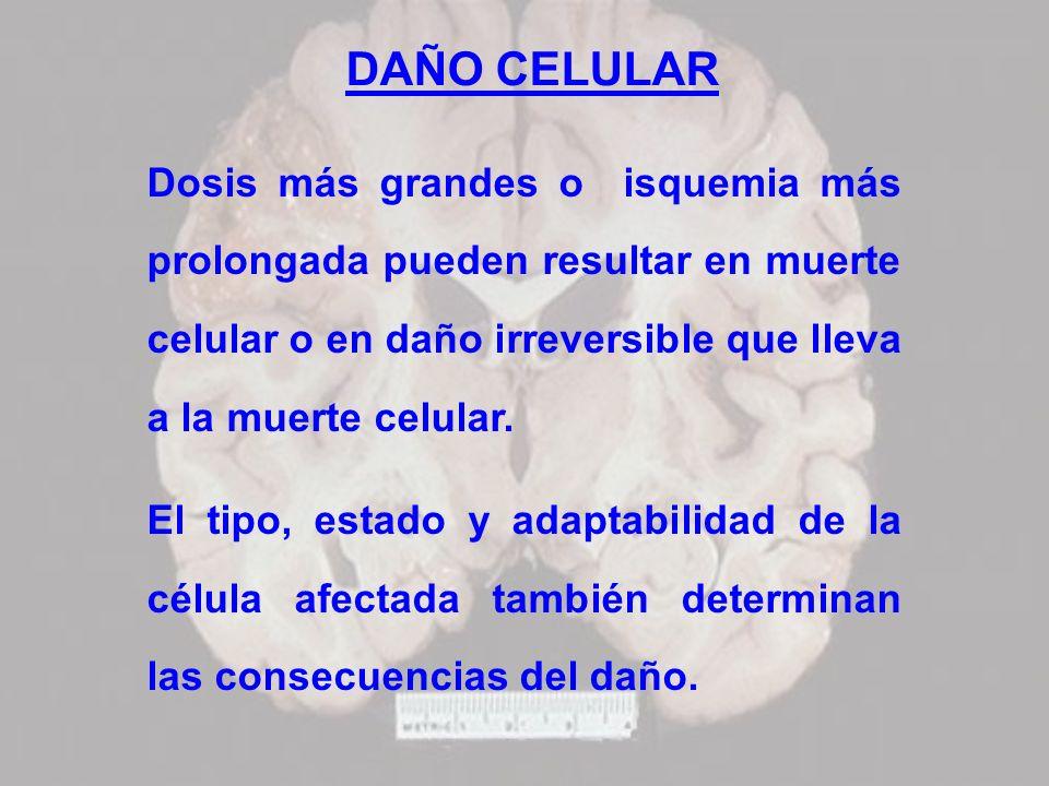 DAÑO CELULARDosis más grandes o isquemia más prolongada pueden resultar en muerte celular o en daño irreversible que lleva a la muerte celular.
