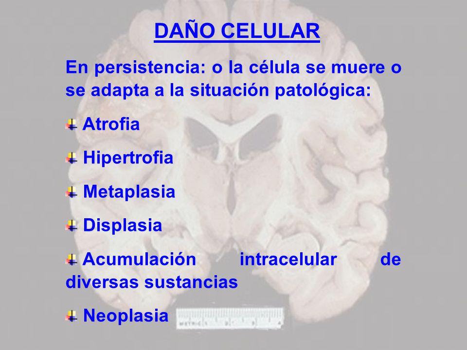 DAÑO CELULAR En persistencia: o la célula se muere o se adapta a la situación patológica: Atrofia.