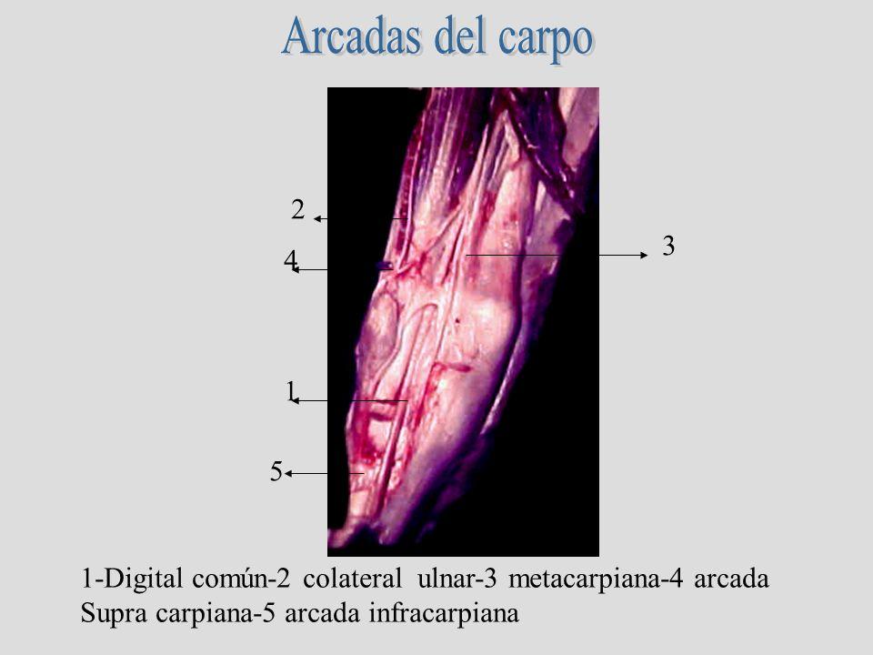 Arcadas del carpo2.3. 4. 1. 5. 1-Digital común-2 colateral ulnar-3 metacarpiana-4 arcada.