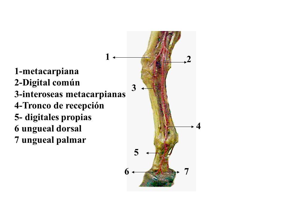 12. 1-metacarpiana. 2-Digital común. 3-interoseas metacarpianas. 4-Tronco de recepción. 5- digitales propias.