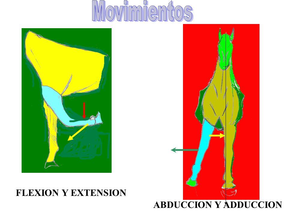 Movimientos FLEXION Y EXTENSION ABDUCCION Y ADDUCCION