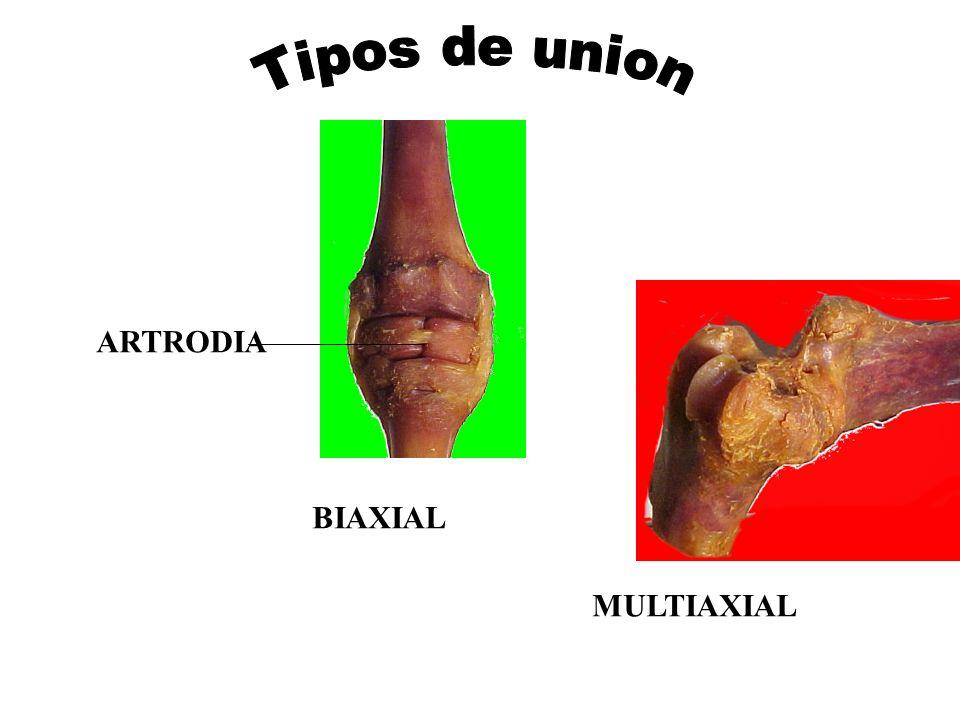 Tipos de union ARTRODIA BIAXIAL MULTIAXIAL