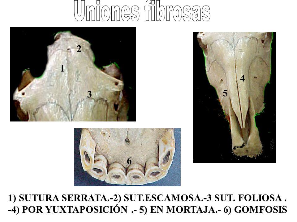 Uniones fibrosas2.1. 4. 3. 5. 6. 1) SUTURA SERRATA.-2) SUT.ESCAMOSA.-3 SUT.