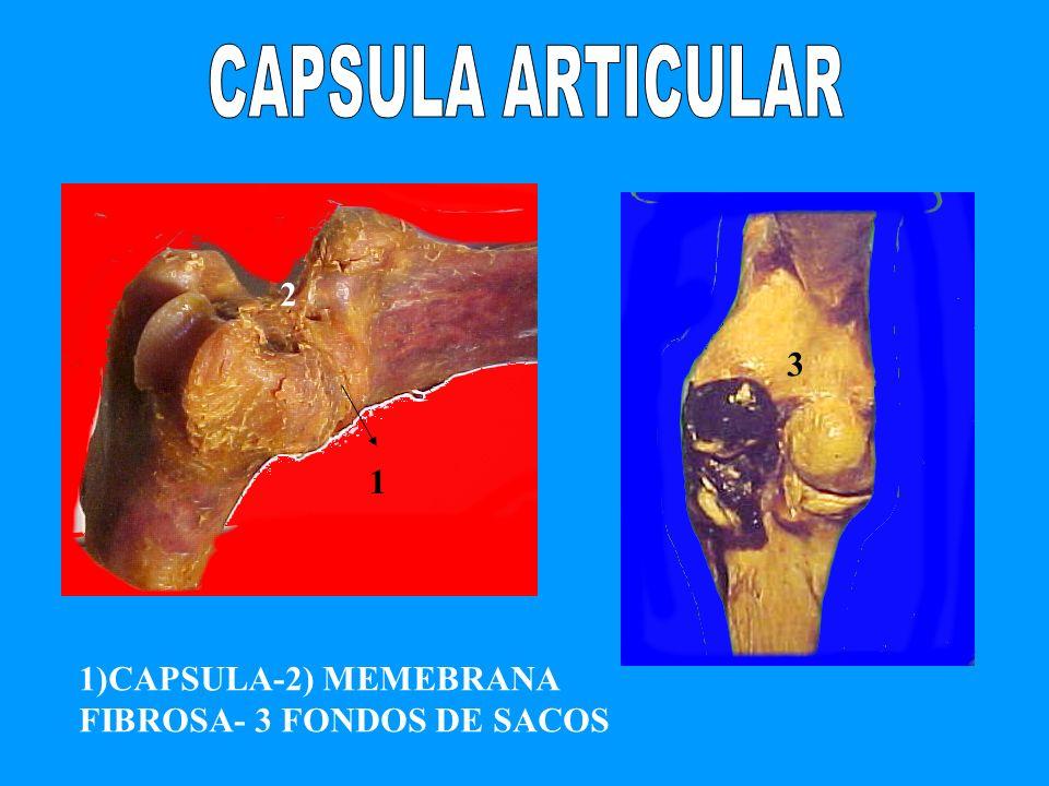 CAPSULA ARTICULAR 2 3 1 1)CAPSULA-2) MEMEBRANA