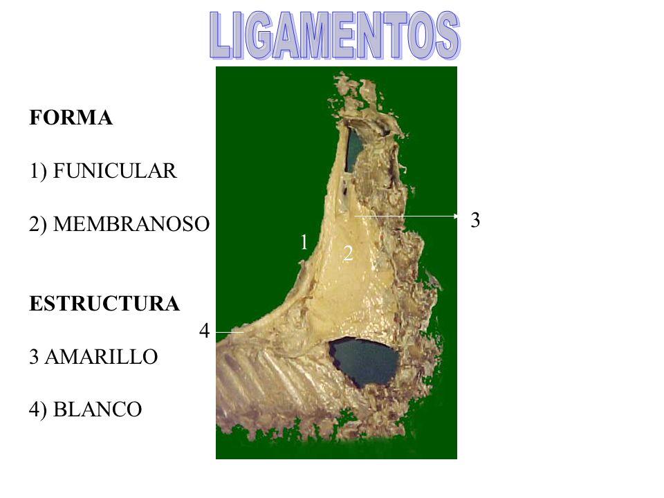 LIGAMENTOS FORMA 1) FUNICULAR 2) MEMBRANOSO ESTRUCTURA 3 3 AMARILLO 1