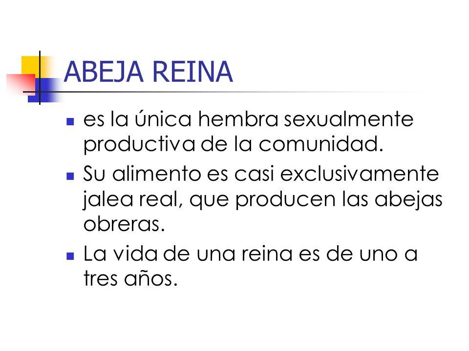 ABEJA REINA es la única hembra sexualmente productiva de la comunidad.