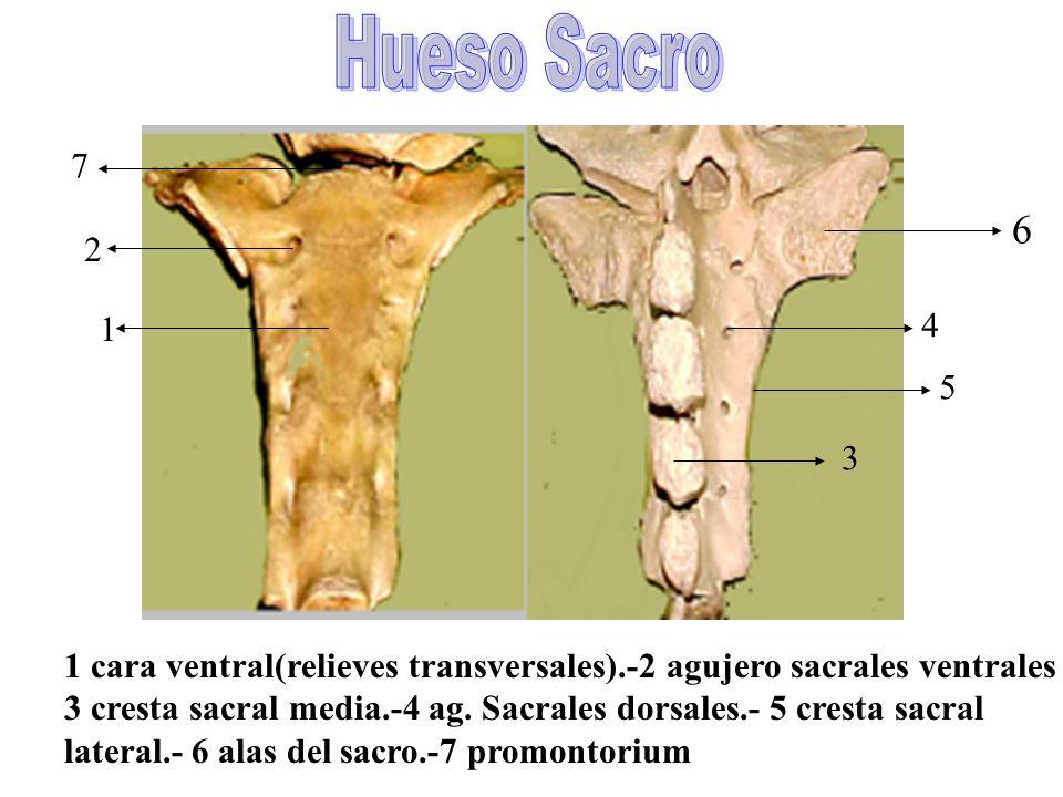 Hueso Sacro 7. 6. 2. 1. 4. 5. 3. 1 cara ventral(relieves transversales).-2 agujero sacrales ventrales.