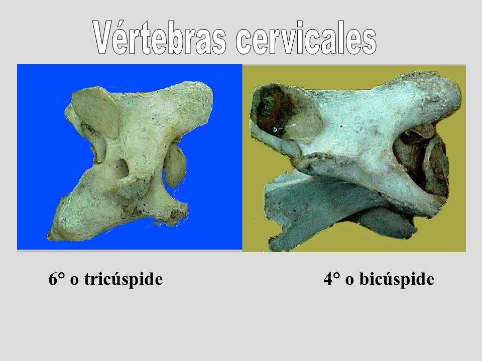 Vértebras cervicales 6° o tricúspide 4° o bicúspide