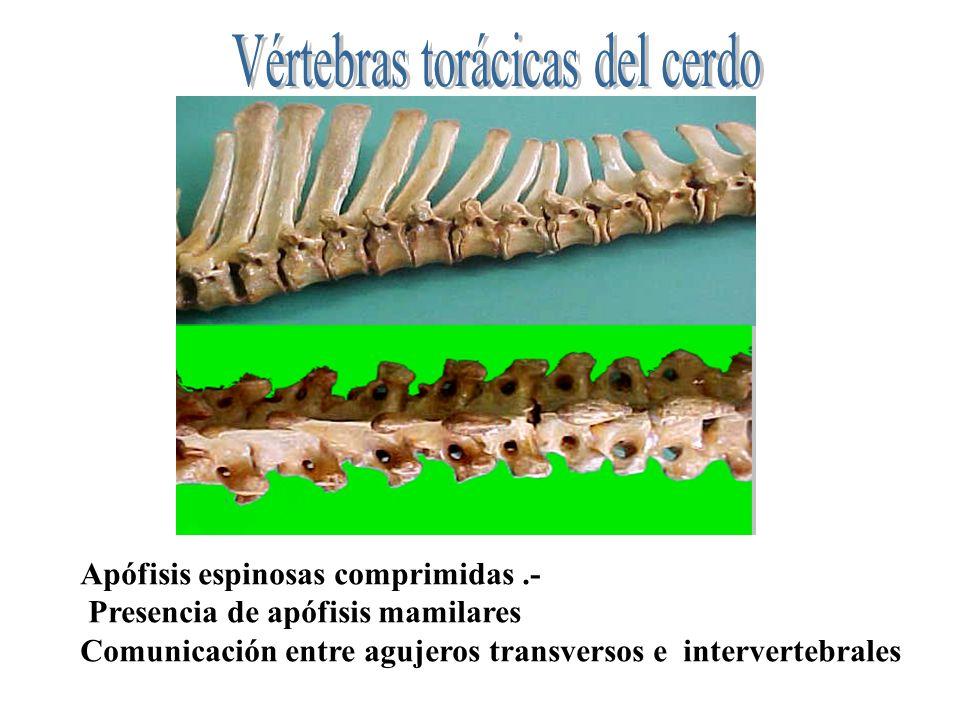 Vértebras torácicas del cerdo