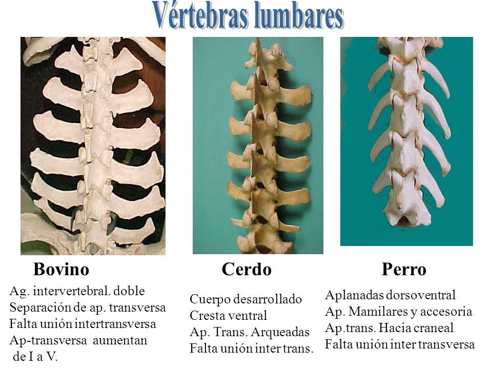 Vértebras lumbares Bovino Cerdo Perro Ag. intervertebral. doble