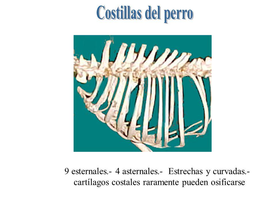Costillas del perro9 esternales.- 4 asternales.- Estrechas y curvadas.- cartílagos costales raramente pueden osificarse.