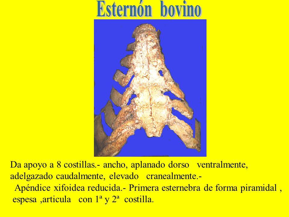 Esternón bovino Da apoyo a 8 costillas.- ancho, aplanado dorso ventralmente, adelgazado caudalmente, elevado cranealmente.-