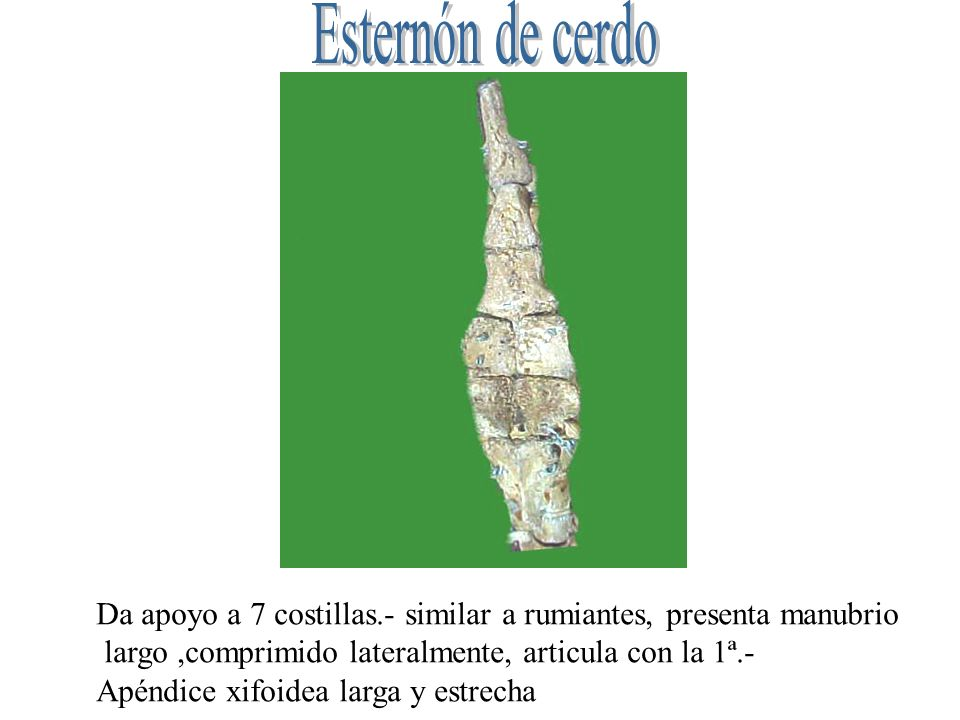 Esternón de cerdo Da apoyo a 7 costillas.- similar a rumiantes, presenta manubrio. largo ,comprimido lateralmente, articula con la 1ª.-