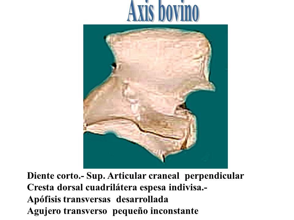 Axis bovino Diente corto.- Sup. Articular craneal perpendicular