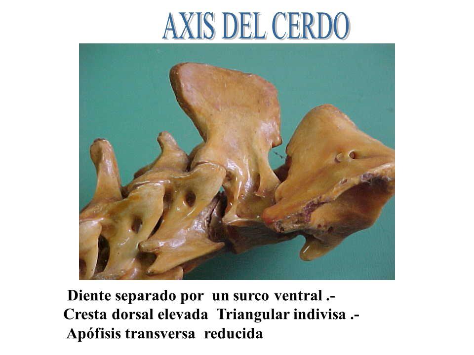 AXIS DEL CERDO Diente separado por un surco ventral .-