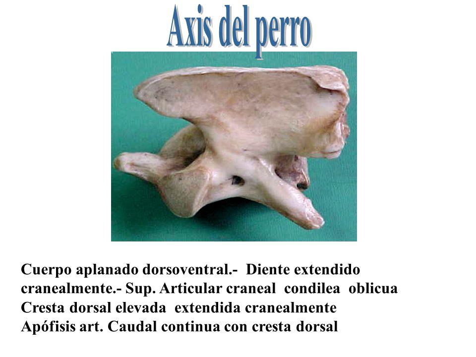 Axis del perro Cuerpo aplanado dorsoventral.- Diente extendido