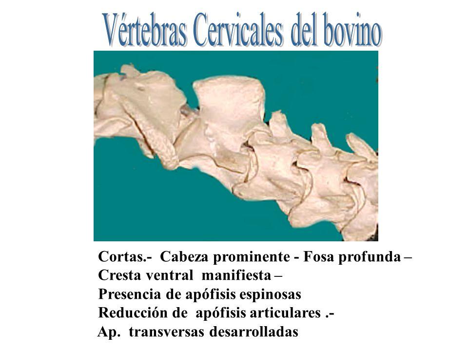 Vértebras Cervicales del bovino