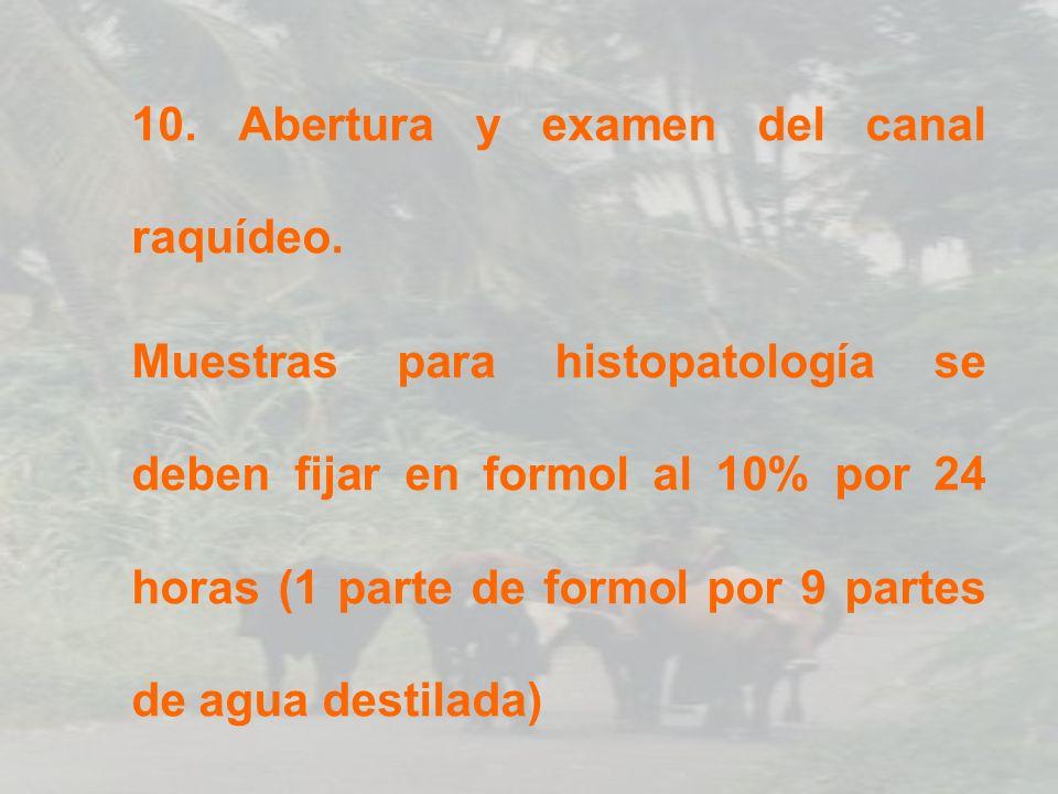 10. Abertura y examen del canal raquídeo.
