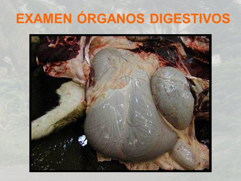 EXAMEN ÓRGANOS DIGESTIVOS
