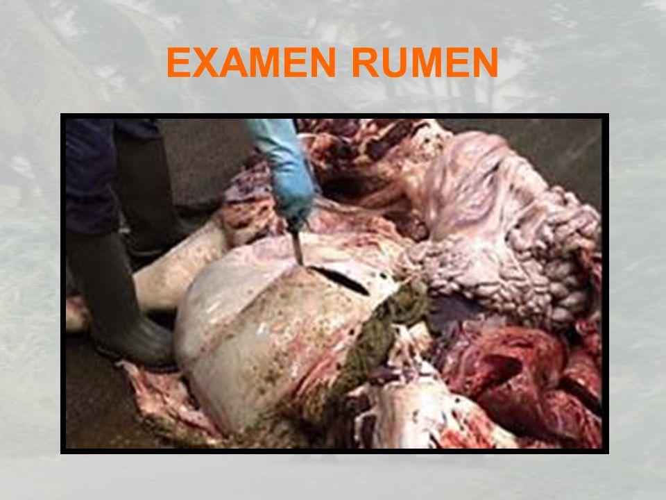 EXAMEN RUMEN