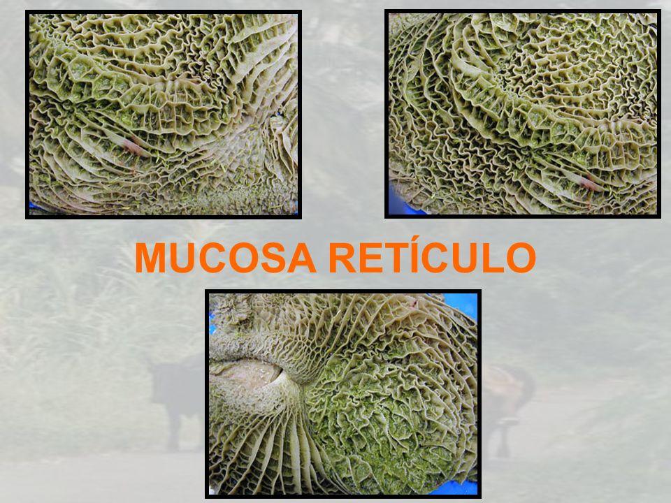 MUCOSA RETÍCULO