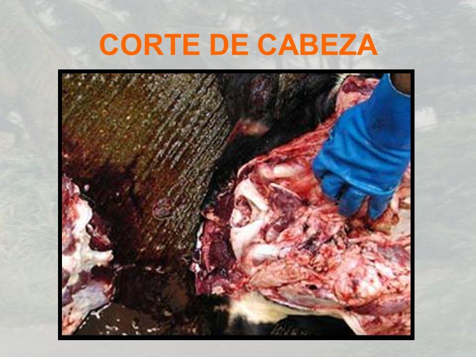 CORTE DE CABEZA