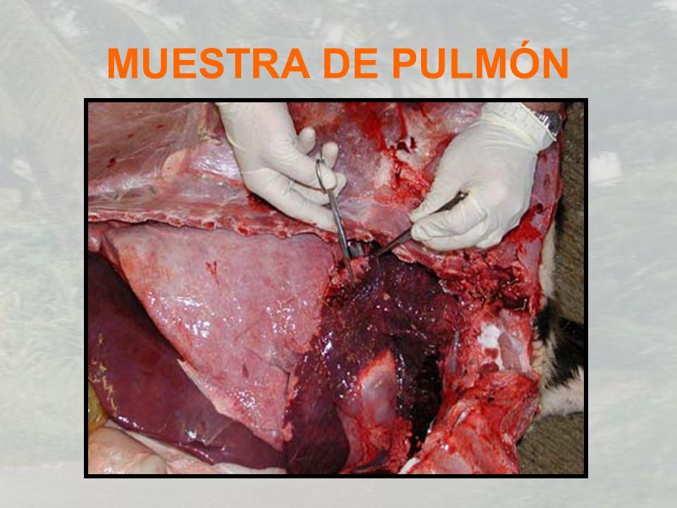 MUESTRA DE PULMÓN