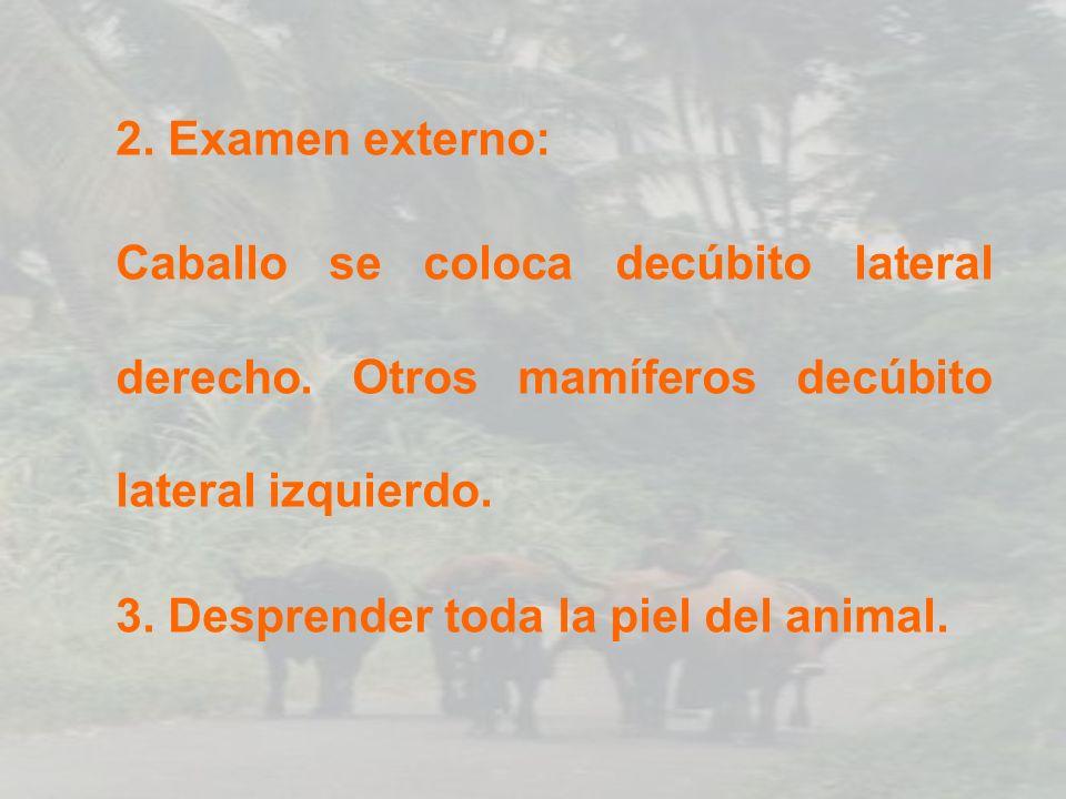 2. Examen externo: Caballo se coloca decúbito lateral derecho. Otros mamíferos decúbito lateral izquierdo.