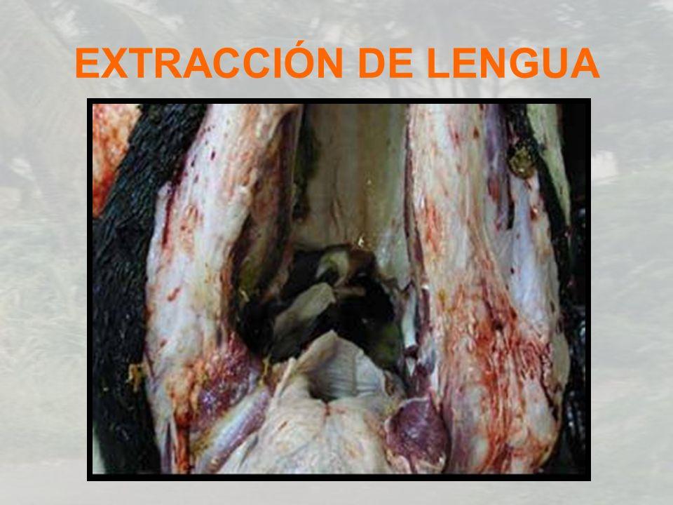 EXTRACCIÓN DE LENGUA