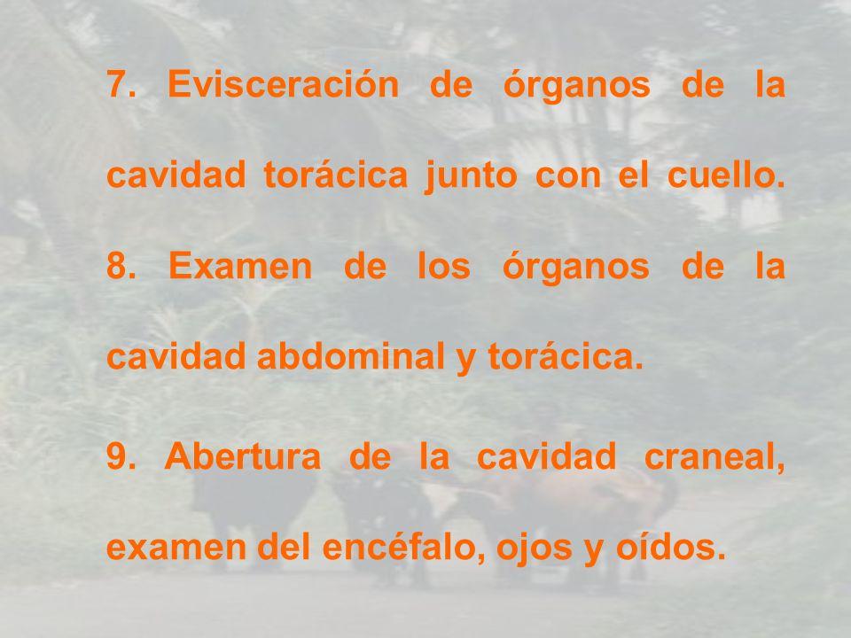 7. Evisceración de órganos de la cavidad torácica junto con el cuello