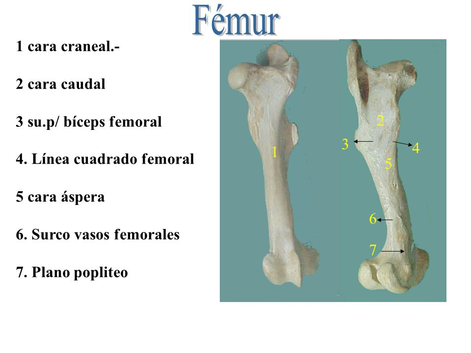 Fémur 1 cara craneal.- 2 cara caudal 3 su.p/ bíceps femoral