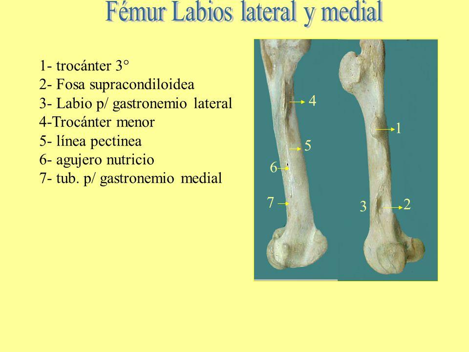 Fémur Labios lateral y medial