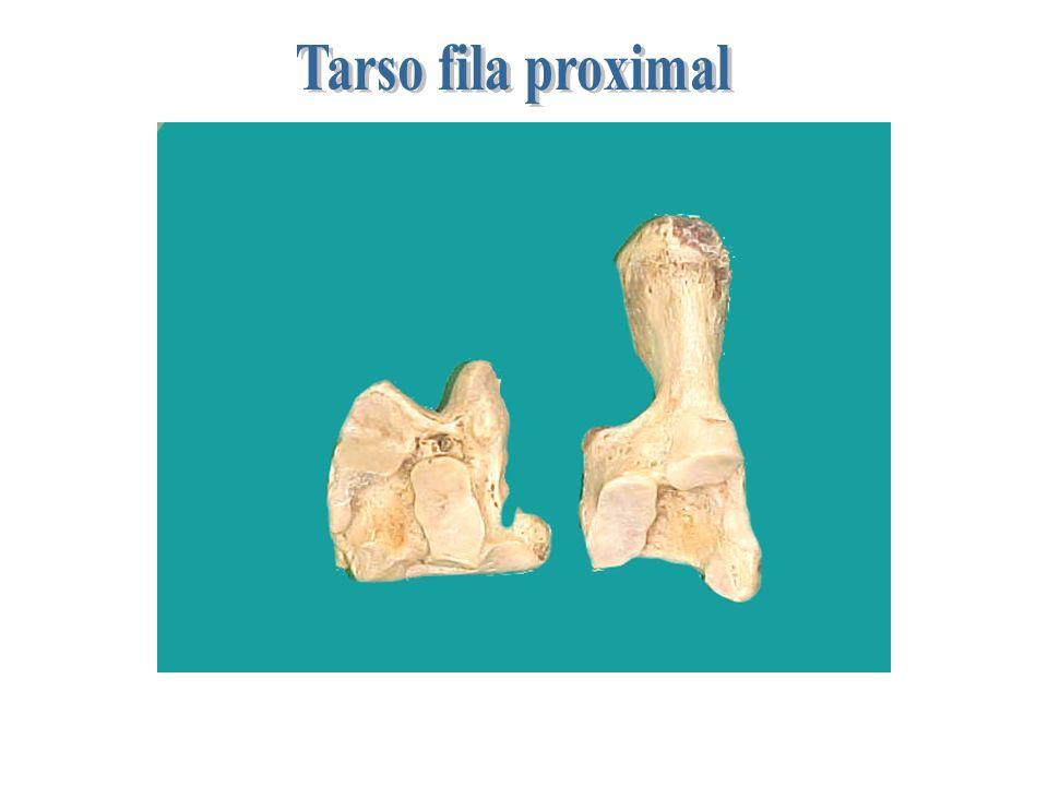 Tarso fila proximal