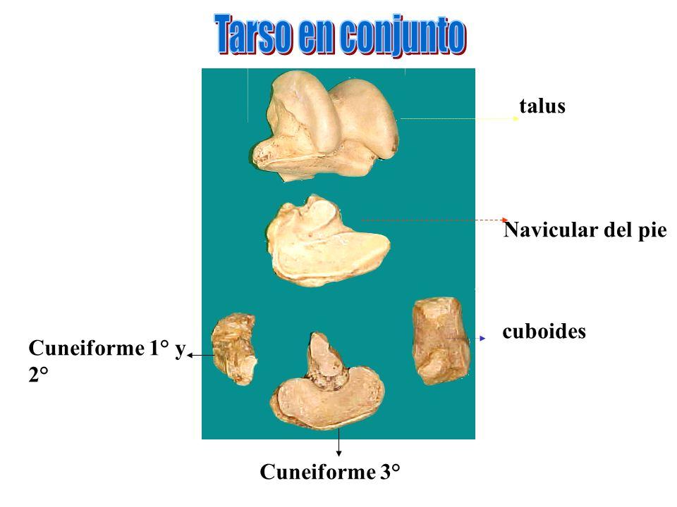 Tarso en conjunto talus Navicular del pie cuboides Cuneiforme 1° y 2°