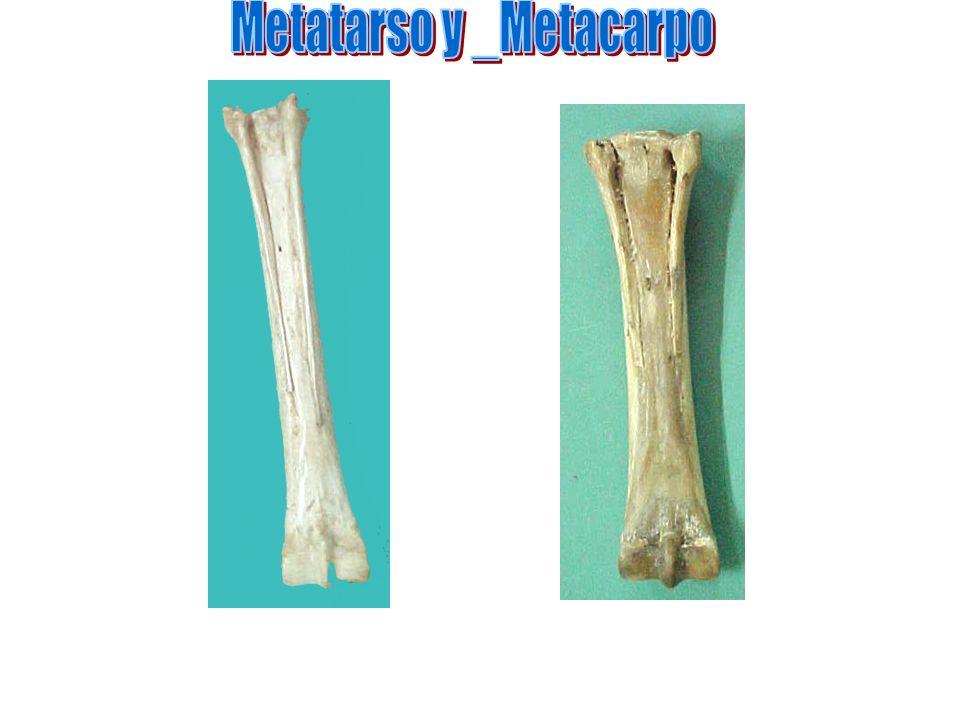 Metatarso y _Metacarpo