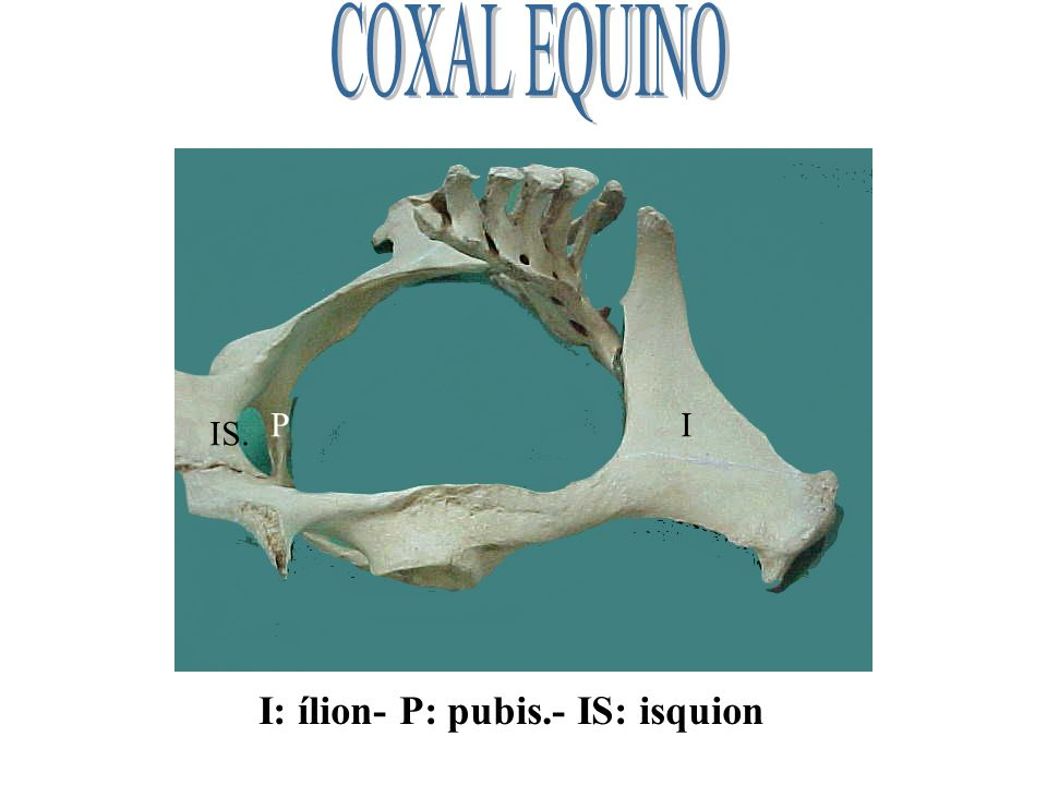 COXAL EQUINO P I IS. I: ílion- P: pubis.- IS: isquion