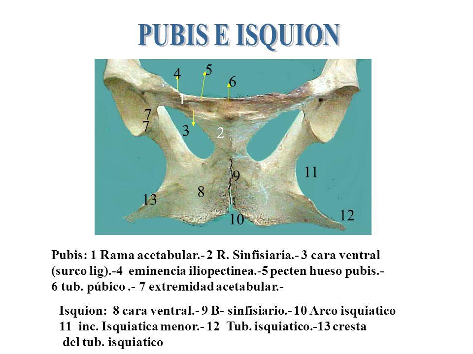 PUBIS E ISQUION5. 4. 6. 1. 7. 7. 3. 2. 11. 9. 8. 13. 12. 10. Pubis: 1 Rama acetabular.- 2 R. Sinfisiaria.- 3 cara ventral.