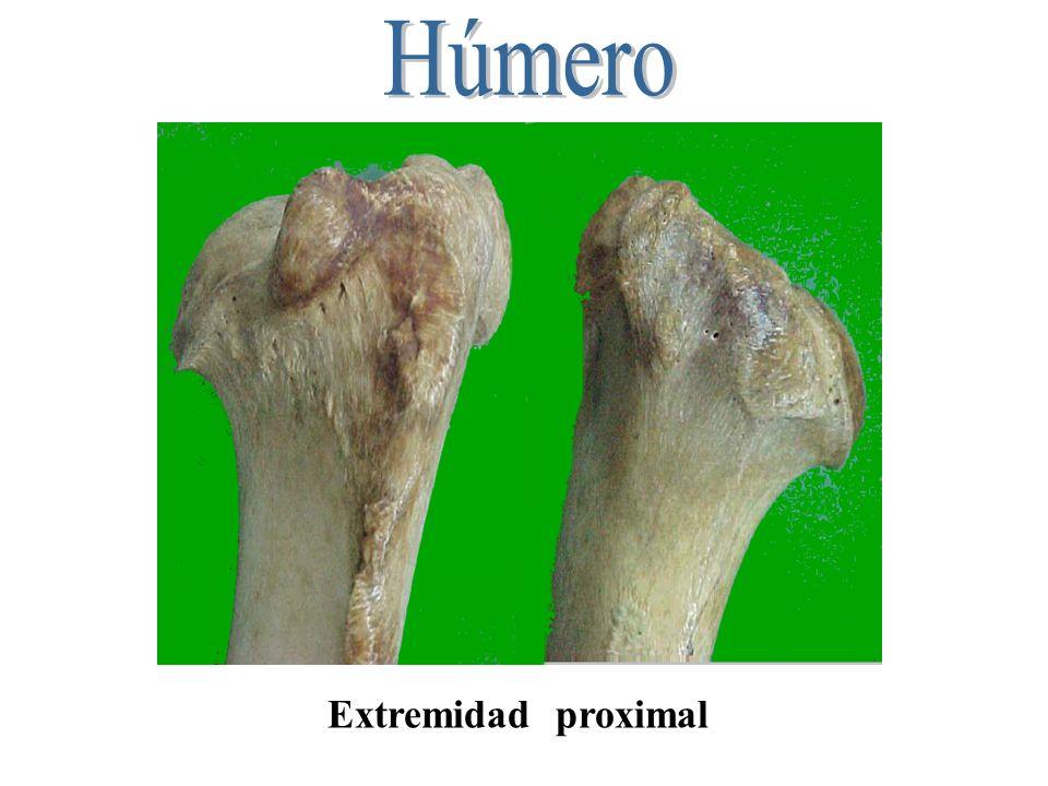 Húmero Extremidad proximal