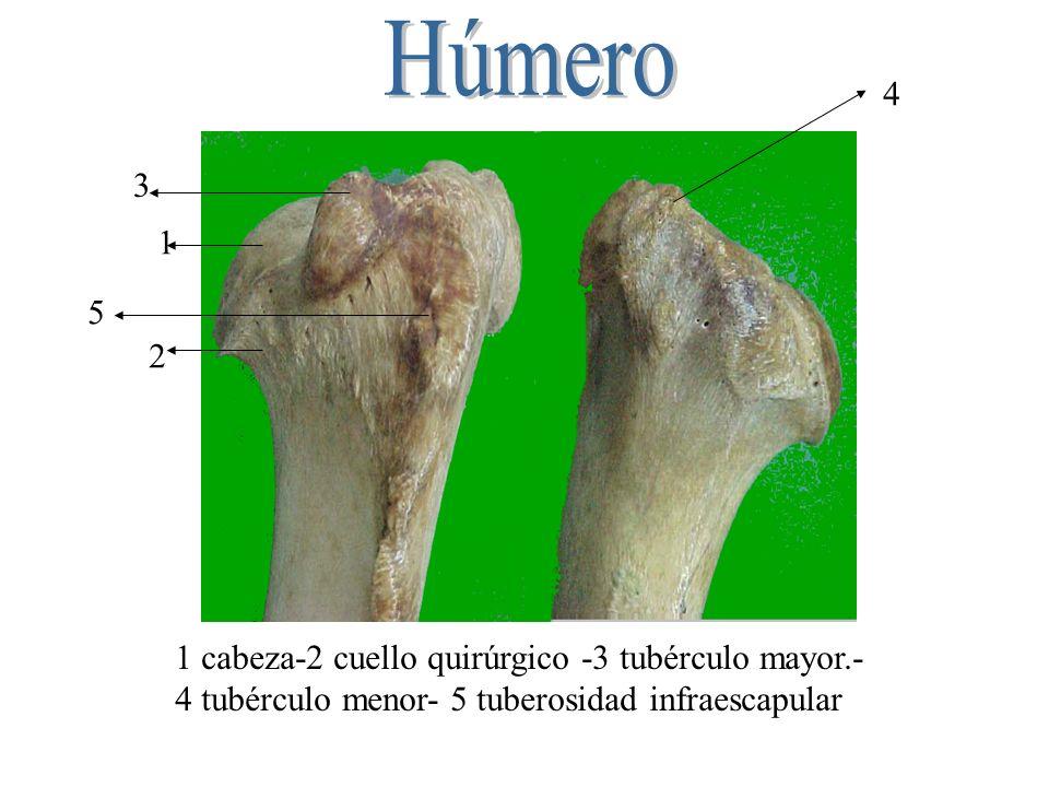 Húmero 4 3 1 5 2 1 cabeza-2 cuello quirúrgico -3 tubérculo mayor.-